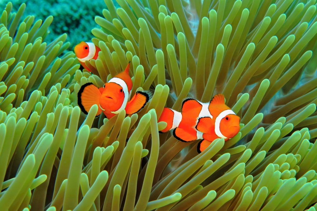 beautiful orange clownfishes